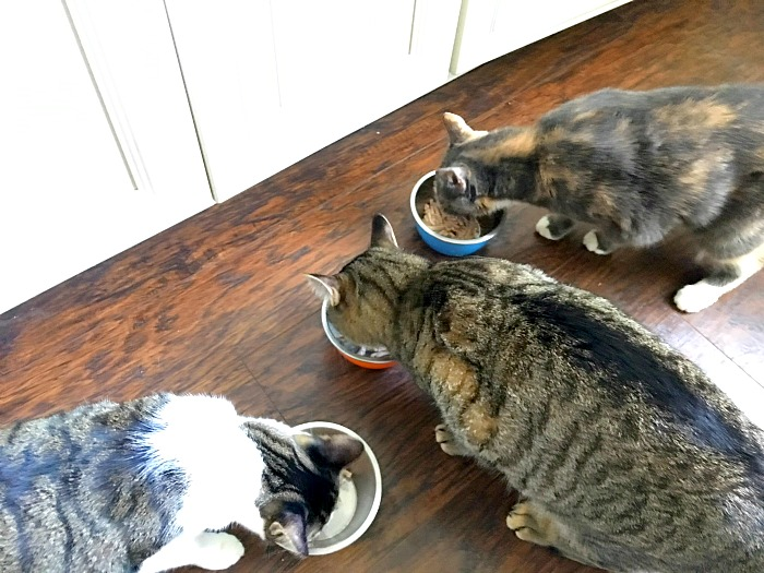 How to Get a Finicky Cat to Eat